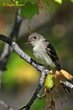 Eastern Wood-Pewee (01).jpg