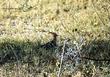 Eurasian Hoopoe (01).jpg