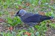 Eurasian Jackdaw (01).jpg