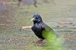European Starling (02).jpg
