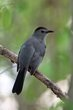 Gray Catbird (02).jpg
