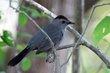 Gray Catbird (04).jpg
