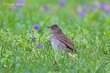 Gray-cheeked Thrush (02).jpg