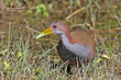 Gray-necked Wood-Rail (01).jpg