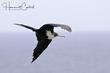Great Frigatebird (female) (01).jpg