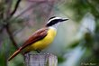 Great Kiskadee (01).jpg