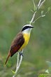 Great Kiskadee (02).jpg