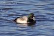 Greater Scaup (breeding plumage) (02).jpg