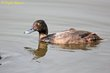 Greater Scaup (nonbreeding plumage) (01).jpg