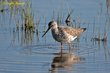 Greater Yellowlegs (01).jpg
