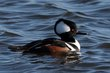 Hooded Merganser (01).jpg