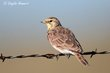 Horned Lark  (southwestern female) (01).jpg