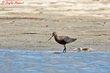 Hudsonian Godwit (01).jpg
