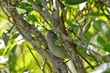 Japanese Bush-Warbler (01).jpg
