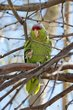 Lilac-crowned Parrot (01).jpg