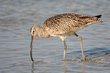 Long-billed Curlew (03).jpg