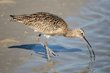 Long-billed Curlew (04).jpg