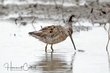 Long-billed Dowitcher (02).jpg