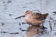 Long-billed Dowitcher (breeding plumage) (03).jpg
