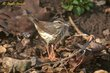 Louisiana Waterthrush (01).jpg