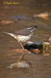 Louisiana Waterthrush (02).jpg
