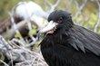 Magnificent Frigatebird (01).jpg