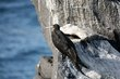 Magnificent Frigatebird (02).jpg