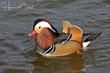 Mandarin Duck (02).jpg