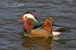 Mandarin Duck (03).jpg