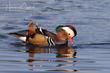Mandarin Duck (04).jpg
