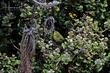Maui Alauahio (Maui Creeper) (02).jpg