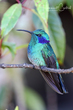 Mexican Violetear (01).jpg