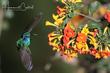 Mexican Violetear (02).jpg