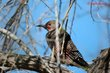 Northern (red-shafted) Flicker (01).jpg