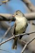 Northern Beardless-Tyrannulet (01).jpg