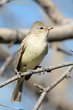 Northern Beardless-Tyrannulet (02).jpg