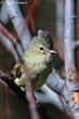 Northern Beardless-Tyrannulet (04).jpg