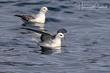 Northern Fulmar (Atlantic) (02).jpg