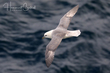 Northern Fulmar (Atlantic) (03).jpg