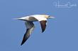 Northern Gannet (03).jpg