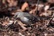 Northern Mockingbird (01).jpg