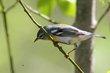 Northern Parula (female) (01).jpg