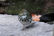 Ovenbird (immature) (01).jpg