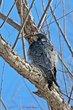 Peregrine Falcon (01).jpg