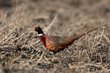 Ring-necked Pheasant (01).jpg
