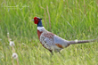 Ring-necked Pheasant (03).jpg