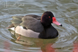 Rosy-billed Pochard (captive) (01).jpg