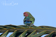 Rosy-faced Lovebird (01).jpg