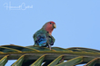 Rosy-faced Lovebird (02).jpg