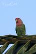 Rosy-faced Lovebird (04).jpg
